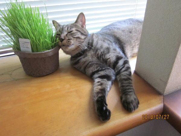 猫草まくら